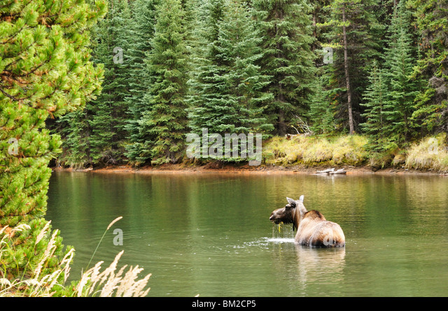 Cow moose feeding in Moose Lake, Jasper National Park, UNESCO World Heritage Site, Alberta, Canada - Stock Image