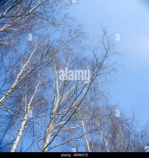 Birch trees in early spring. - Stock-Bilder