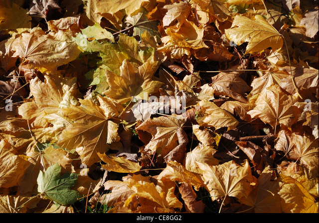 Dry maple leaves are lying on the ground. They are illuminated with the autumnal sun. - Stock-Bilder