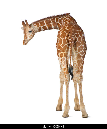 Somali Giraffe often known as Reticulated Giraffe (Giraffa camelopardalis reticulata) 2 and a half years old on - Stock Image