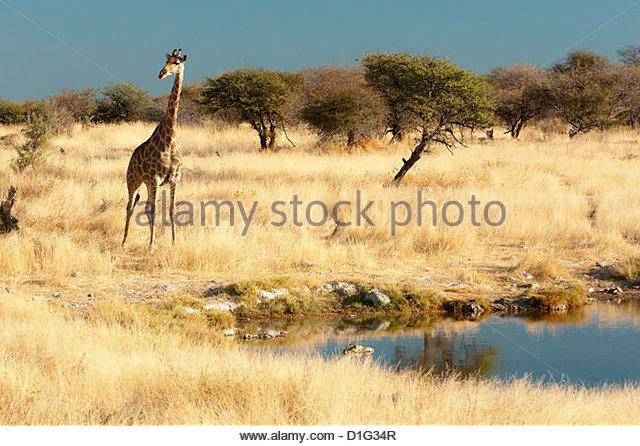 Giraffe (Giraffa camelopardis) at water hole, world's tallest animal, Etosha National Park, Namibia, Africa - Stock Image
