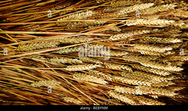 wheat kernels - Stock Image