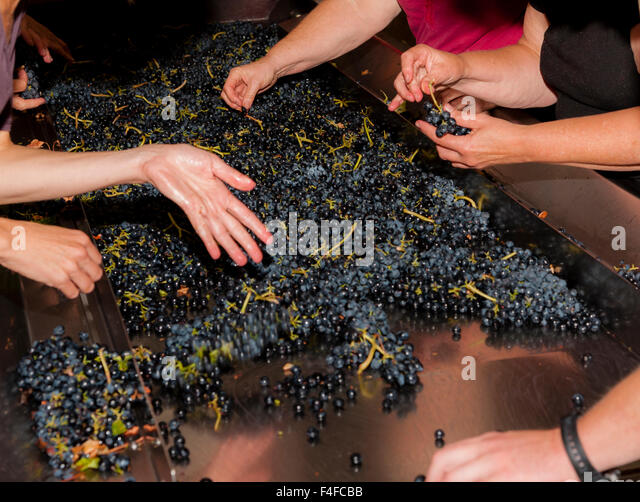 USA, Washington, Woodinville. Winery workers sort cabernet grapes at crush. - Stock Image