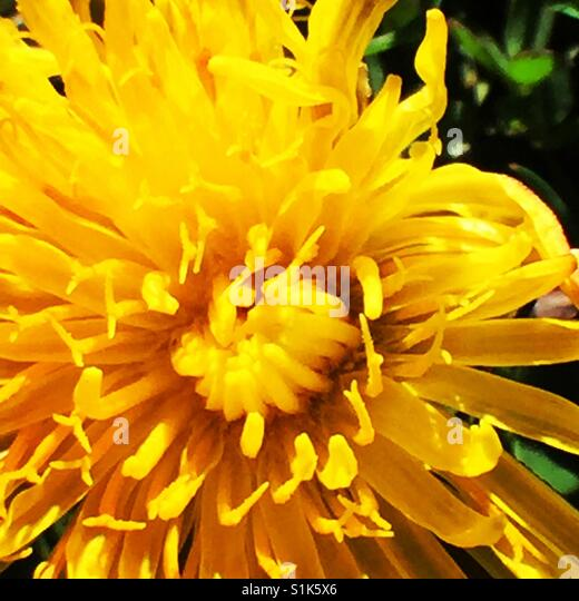 Dandelion flower close up - Stock Image