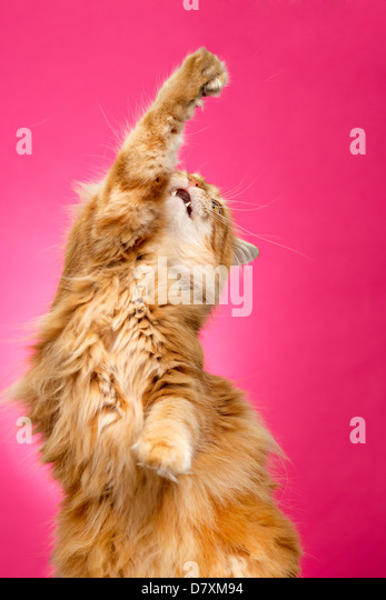 Fluffy orange cat doing the high five against bright pink background - Stock Image