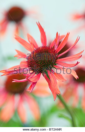 Echinacea 'Sundown' (coneflower) - Stock Image