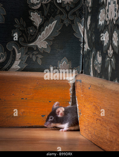 mouse coming out ot her hole in a luxury old fashioned room - Stock-Bilder