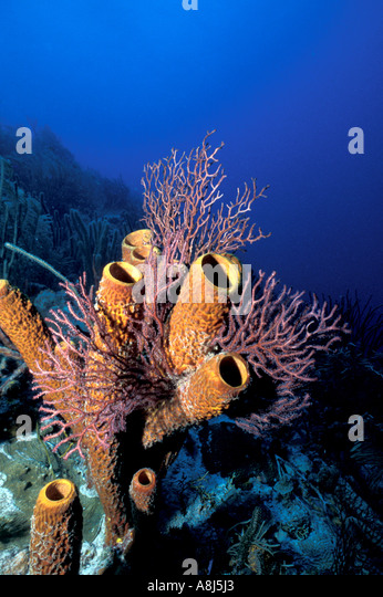 Underwater coral reef tube sponges - Stock Image