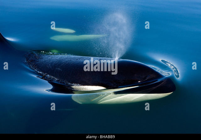Orca Whale surfaces in Lynn Canal, Inside Passage, Alaska - Stock Image
