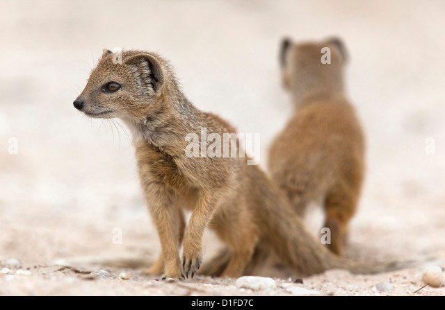 Yellow mongoose (Cynictis penicillata) subadults at den, Kgalagadi Transfrontier Park, South Africa, Africa - Stock Image
