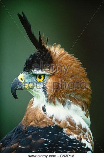 Ornate Hawk Eagle, Mexico - Stock Image