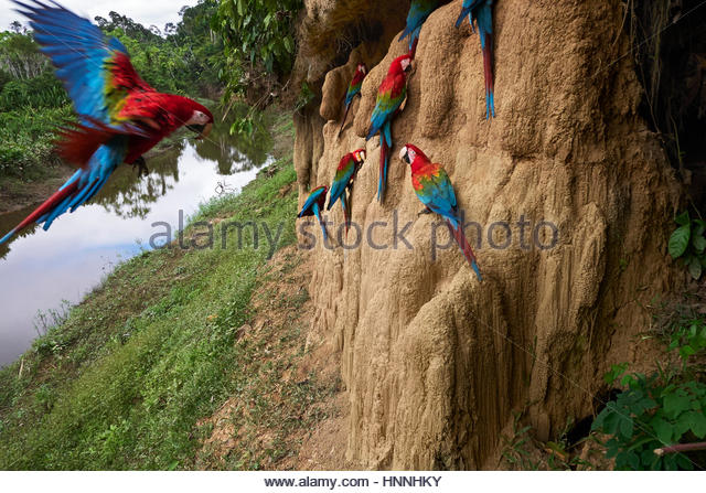 Clay cliffs form a natural salt lick that attracts red-and-green macaws. - Stock-Bilder