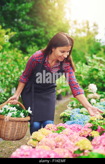 Young nursery worker checking pink hydrangea plants while collecting fresh flowers for sale bending over to examine - Stock Image
