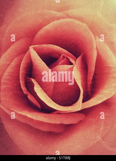 Orange grunge rose flower - Stock Image