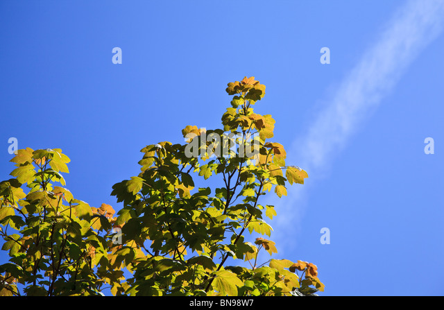 Young Sycamore leaves against a blue sky - Stock Image