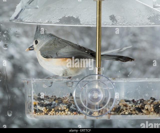 Tufted Titmouse bird in window attached birdfeeder on a wet cold day in winter, USA - Stock Image