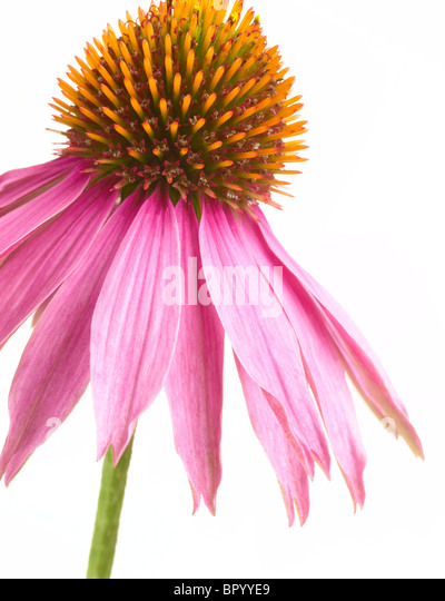 Echinacea flower head - Stock Image