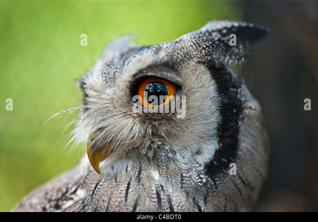 A portrait of a White-faced Scops-Owl, a species of small owl with ear tufts that are raised when the bird is disturbed. - Stock-Bilder