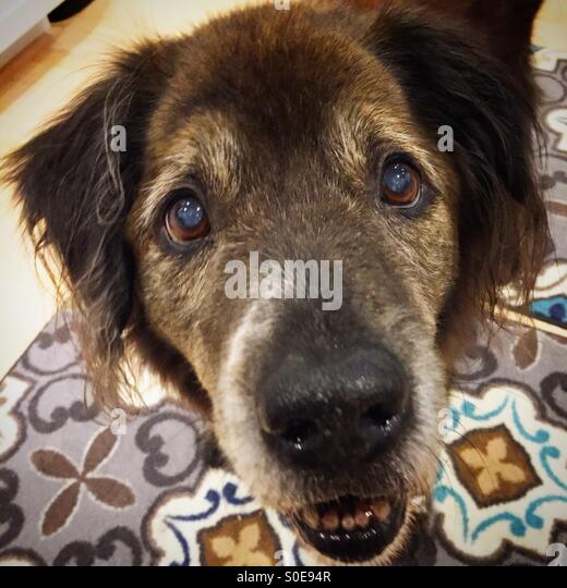 Old dog waiting for his biscuit with soulful eyes. - Stock Image