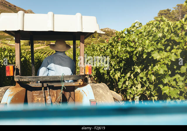 Rear view of farmer driving his tractor between rows of trellis in the vineyard during harvest season. - Stock Image