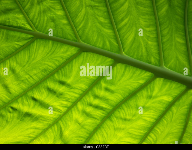 Green  leaf - Stock Image