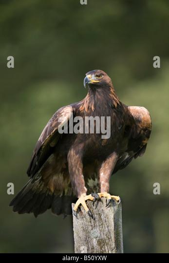 golden eagle Aquila chrysaetos perched - Stock-Bilder