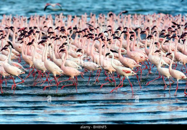 Flamingos - Lake Nakuru National Park - Nakuru, Kenya - Stock Image