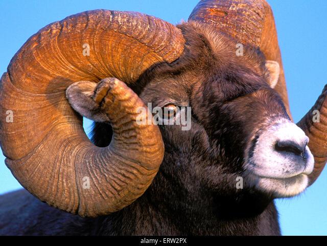 Portrait of Bighorn Ram, full curl, portrait closeup - Stock Image