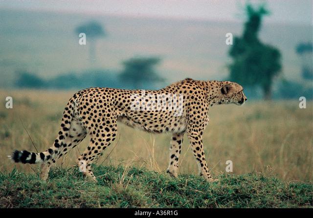 Cheetah starting to stalk prey at Masai Mara National Reserve Kenya East Africa - Stock Image