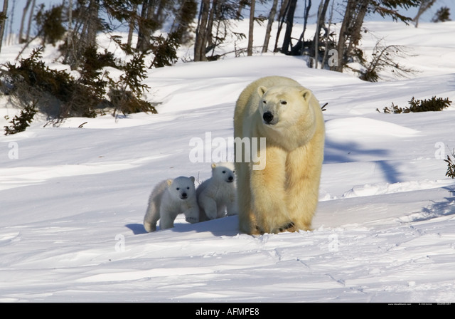 Polar Bear mother with young cubs walking Manitoba Canada - Stock Image
