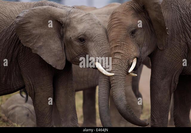 African elephants (Loxodonta africana) sparring, Masai Mara National Reserve, Kenya, August - Stock-Bilder