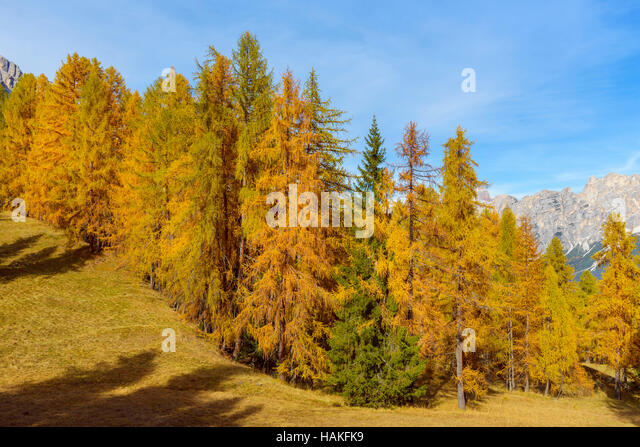 Beautifully Colored Larches in Autumn, Passo di Falzarego, Cortina d'Ampezzo, Veneto, Dolomites, Italy - Stock Image