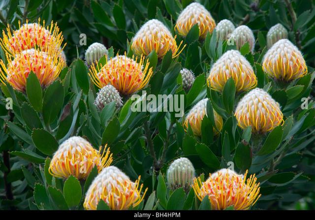 Apple blossoms and Protea flowers. Big Sur coast. California - Stock Image