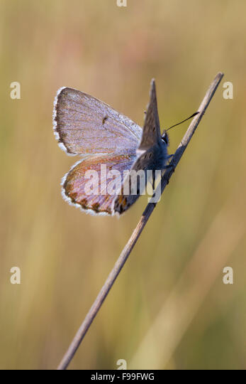 Baton Blue butterfly (Pseudophilotes baton) adult male perched in early morning sunshine. Causse de Gramat, France. - Stock Image