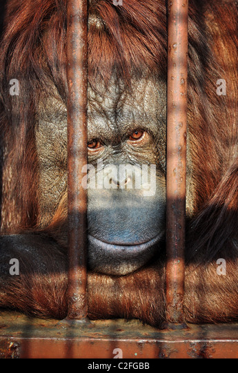 Close up portrait of an orang-utan behing the bars in the zoo with the sad look in his eyes. - Stock-Bilder
