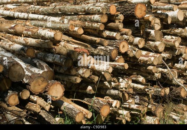 Silver birch woods stock photos