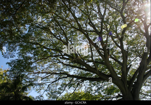 Large corotu tree with sun shining through branches and limbs. - Stock Image