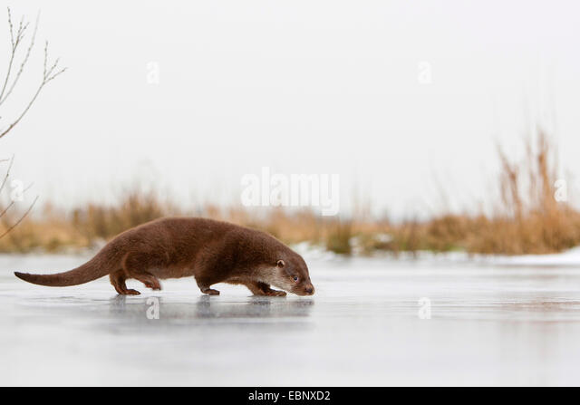 European river otter, European Otter, Eurasian Otter (Lutra lutra), female walking on a frozen up ice cap, Germany - Stock-Bilder