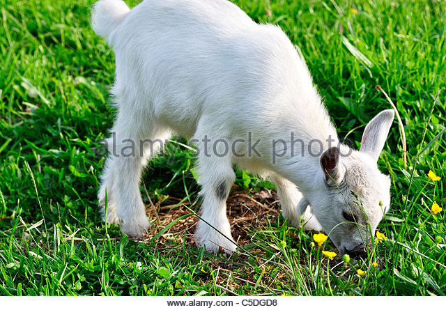 Pygmy goat kid, family farm, Webster County, West Virginia, USA - Stock Image