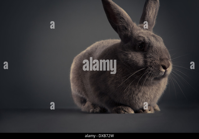 Studio portrait of a rabbit. - Stock Image