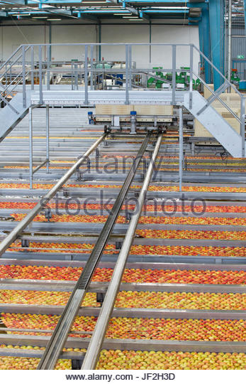 Apples Being Washed And Graded In Fruit Processing Plant - Stock Image