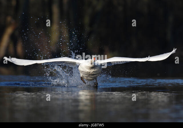 Mute swan (Cygnus olor), taking off from the water, head on, nature river area Peenetal, Mecklenburg-Western Pomerania, - Stock Image