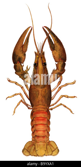 Spinycheek Crayfish (Orconectes limosus, Cambarus affinis), drawing - Stock Image