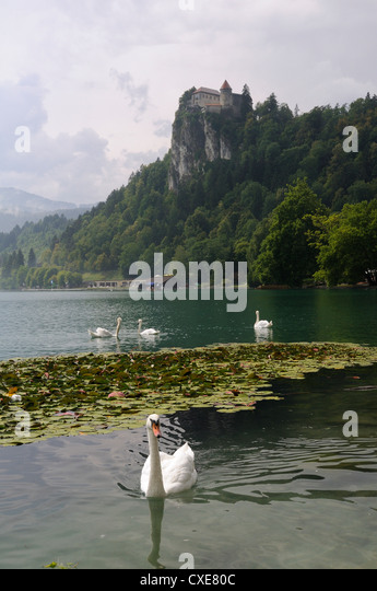 Mute swans (Cygnus olor) and Mallard ducks (Anas platyrhynchos), Lake Bled, slovenia, slovenian, europe, european - Stock Image