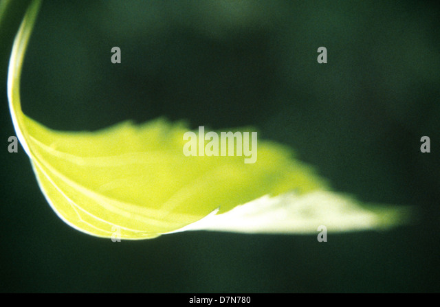 curled and yellowing elm tree leaf in the woods, Weis Ecology Center, Ringwood, NJ, summer 1993, ©mak - Stock Image
