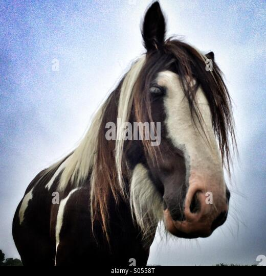 Horse head close-up - Stock Image