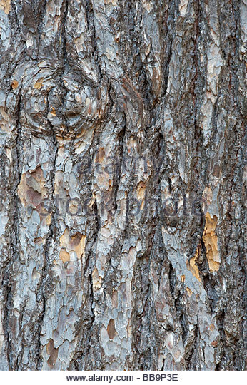 Lebanon Cedar tree bark - Stock Image