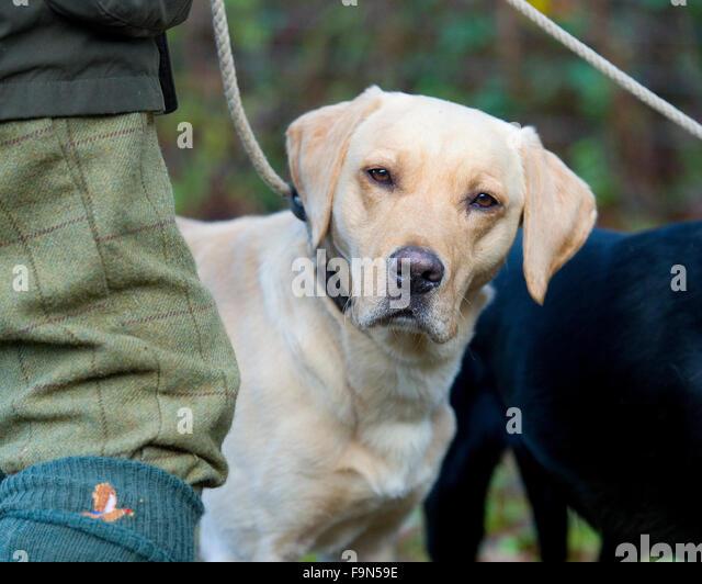 yellow labrador retriever on a shooting day - Stock Image