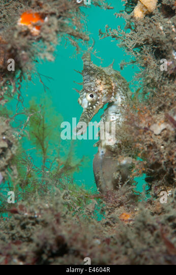 White's / Golden Seahorse (Hippocampus whitei) framed by marine plants. Chowder Bay, Sydney Harbour, New South - Stock Image