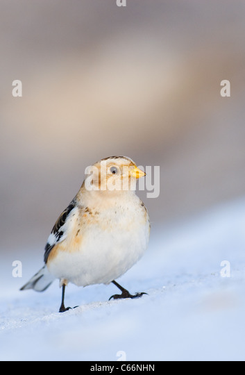 SNOW BUNTING Plectrophenax nivalis  Portrait of an adult perched on a snow bank Cairngorms National Park, Scotland, - Stock-Bilder